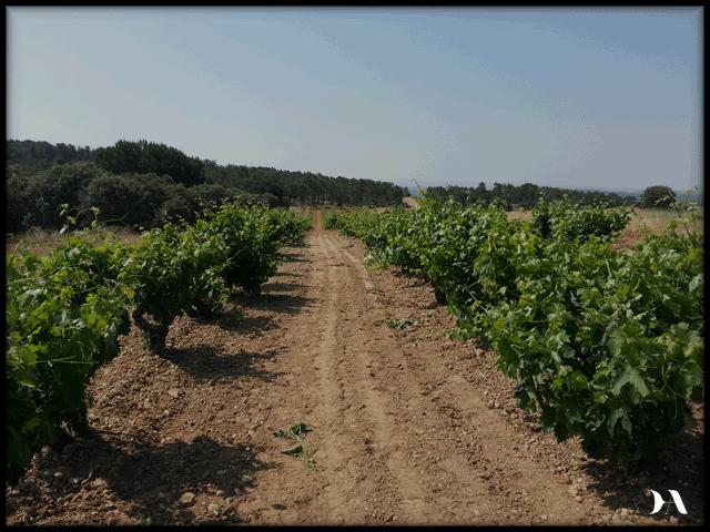viñedo-1